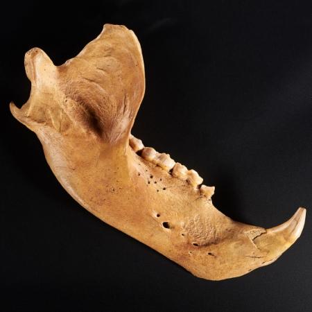 Окаменелость челюсть пещерного медведя