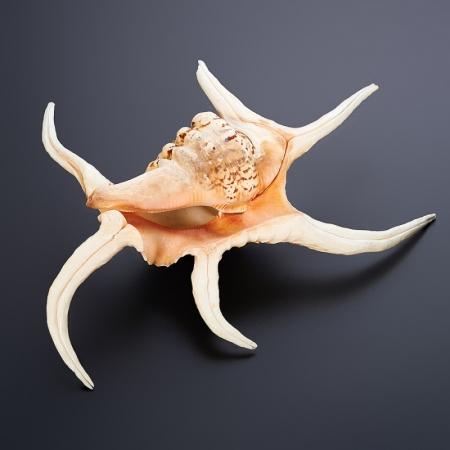 Образец морская раковина  XXL